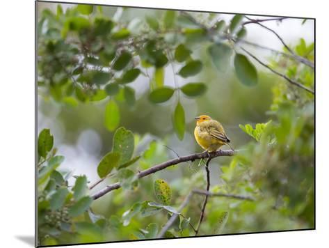 A Saffron Finch, Sicalis Flaveola, Sits on a Branch in Ubatuba, Brazil-Alex Saberi-Mounted Photographic Print