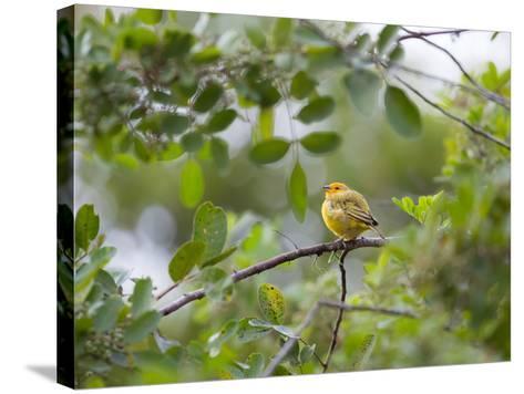 A Saffron Finch, Sicalis Flaveola, Sits on a Branch in Ubatuba, Brazil-Alex Saberi-Stretched Canvas Print