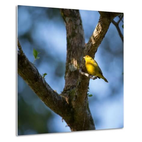 A Saffron Finch, Sicalis Flaveola, Sits on a Branch in Ubatuba, Brazil-Alex Saberi-Metal Print