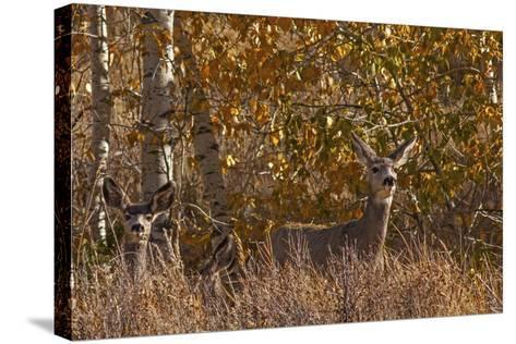 Mule Deer, Odocoileus Hemionus, Watch for Predators on Madison Range Hillside, Montana-Gordon Wiltsie-Stretched Canvas Print