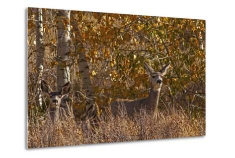 Mule Deer, Odocoileus Hemionus, Watch for Predators on Madison Range Hillside, Montana-Gordon Wiltsie-Metal Print