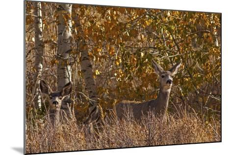 Mule Deer, Odocoileus Hemionus, Watch for Predators on Madison Range Hillside, Montana-Gordon Wiltsie-Mounted Photographic Print