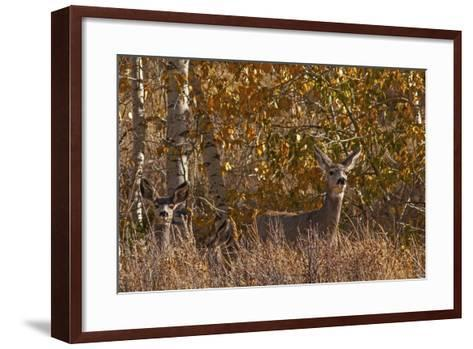 Mule Deer, Odocoileus Hemionus, Watch for Predators on Madison Range Hillside, Montana-Gordon Wiltsie-Framed Art Print