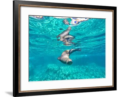 A California Sea Lion, Zalophus Californianus, Swims in Waters Off Los Islotes-Kike Calvo-Framed Art Print