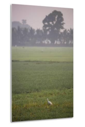 A Single Cattle Egret, Bubulcus Ibis, Walks Through a Field in the Backwaters-Kelley Miller-Metal Print