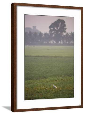 A Single Cattle Egret, Bubulcus Ibis, Walks Through a Field in the Backwaters-Kelley Miller-Framed Art Print