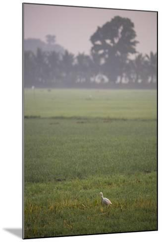 A Single Cattle Egret, Bubulcus Ibis, Walks Through a Field in the Backwaters-Kelley Miller-Mounted Photographic Print