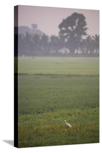 A Single Cattle Egret, Bubulcus Ibis, Walks Through a Field in the Backwaters-Kelley Miller-Stretched Canvas Print