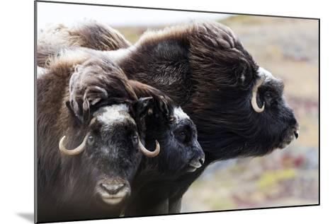 A Pair of Musk Ox Protect a Calf by Standing Either Side of It-Jason Edwards-Mounted Photographic Print