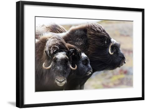 A Pair of Musk Ox Protect a Calf by Standing Either Side of It-Jason Edwards-Framed Art Print