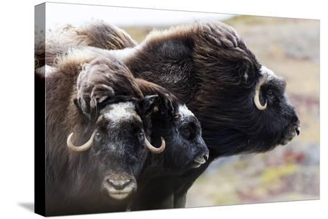 A Pair of Musk Ox Protect a Calf by Standing Either Side of It-Jason Edwards-Stretched Canvas Print