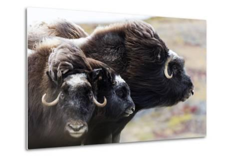 A Pair of Musk Ox Protect a Calf by Standing Either Side of It-Jason Edwards-Metal Print