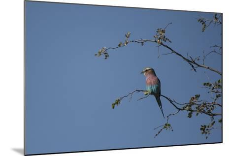 A Lilac Breasted Roller Perched in a Tree-Bob Smith-Mounted Photographic Print