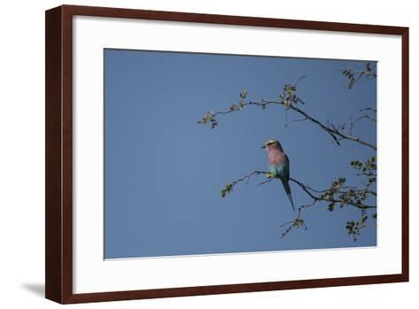 A Lilac Breasted Roller Perched in a Tree-Bob Smith-Framed Art Print
