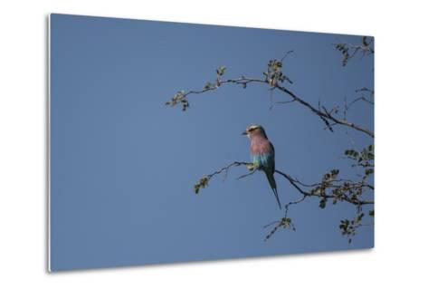 A Lilac Breasted Roller Perched in a Tree-Bob Smith-Metal Print