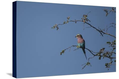 A Lilac Breasted Roller Perched in a Tree-Bob Smith-Stretched Canvas Print