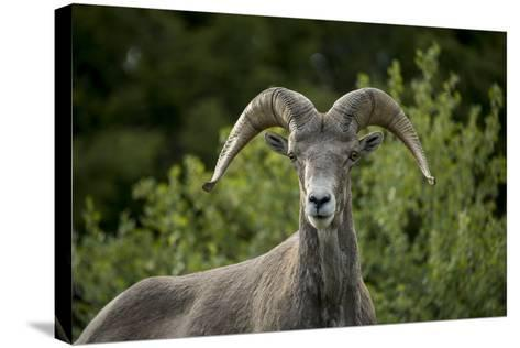 Portrait of a Bighorn Sheep Near the Gird Point Lookout on a Mountain Peak-Ami Vitale-Stretched Canvas Print
