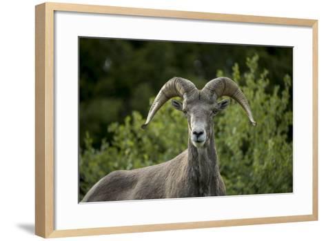Portrait of a Bighorn Sheep Near the Gird Point Lookout on a Mountain Peak-Ami Vitale-Framed Art Print