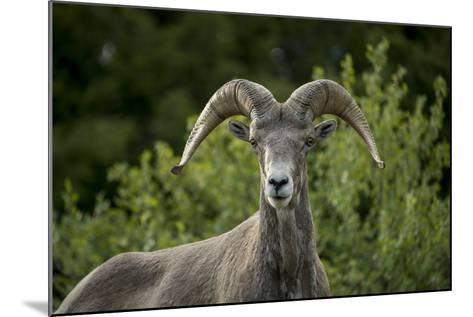 Portrait of a Bighorn Sheep Near the Gird Point Lookout on a Mountain Peak-Ami Vitale-Mounted Photographic Print