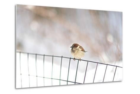 A Sparrow Rests on a Fence in Central Park in the Aftermath of Winter Storm Juno-Kike Calvo-Metal Print