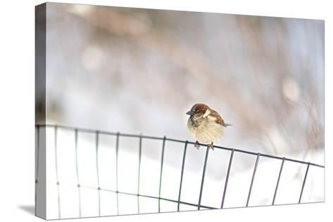 A Sparrow Rests on a Fence in Central Park in the Aftermath of Winter Storm Juno-Kike Calvo-Stretched Canvas Print