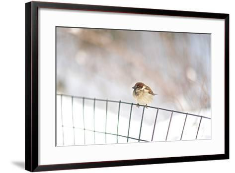 A Sparrow Rests on a Fence in Central Park in the Aftermath of Winter Storm Juno-Kike Calvo-Framed Art Print