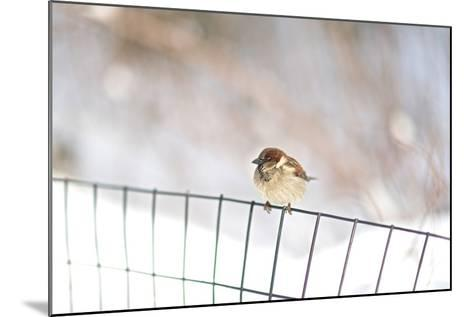 A Sparrow Rests on a Fence in Central Park in the Aftermath of Winter Storm Juno-Kike Calvo-Mounted Photographic Print