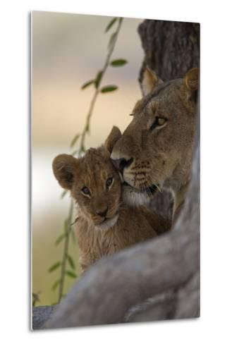A Lioness Nuzzling Her Cub-Beverly Joubert-Metal Print