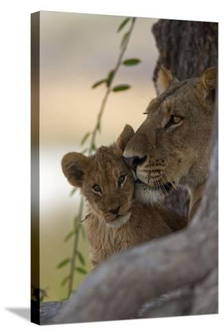 A Lioness Nuzzling Her Cub-Beverly Joubert-Stretched Canvas Print