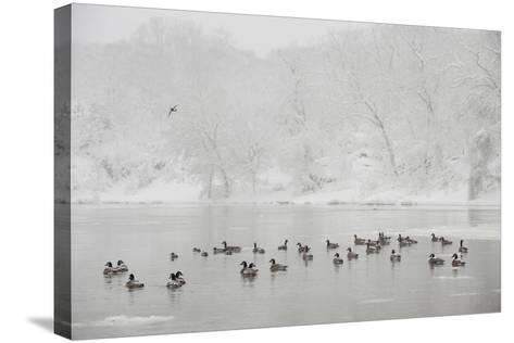 Canada Geese in the Potomac River in a Snowy Landscape-Irene Owsley-Stretched Canvas Print