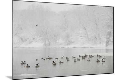 Canada Geese in the Potomac River in a Snowy Landscape-Irene Owsley-Mounted Photographic Print