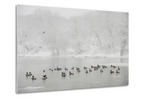 Canada Geese in the Potomac River in a Snowy Landscape-Irene Owsley-Metal Print