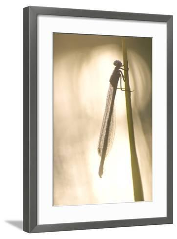 A Dragonfly Rests on a Stalk in the Deschutes National Forest-Phil Schermeister-Framed Art Print