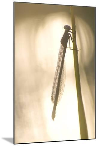 A Dragonfly Rests on a Stalk in the Deschutes National Forest-Phil Schermeister-Mounted Photographic Print