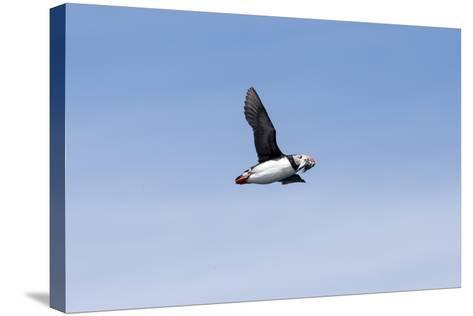 An Atlantic Puffin, Fratercula Arctica, Flies with Small Fish in its Beak-Robbie George-Stretched Canvas Print
