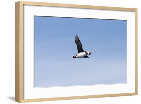 An Atlantic Puffin, Fratercula Arctica, Flies with Small Fish in its Beak-Robbie George-Framed Art Print