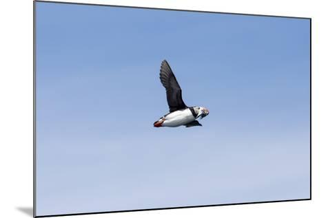 An Atlantic Puffin, Fratercula Arctica, Flies with Small Fish in its Beak-Robbie George-Mounted Photographic Print