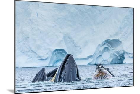 Humpback Whales Lunge Feeding Near Paradise Harbor, Antarctica-Ralph Lee Hopkins-Mounted Photographic Print
