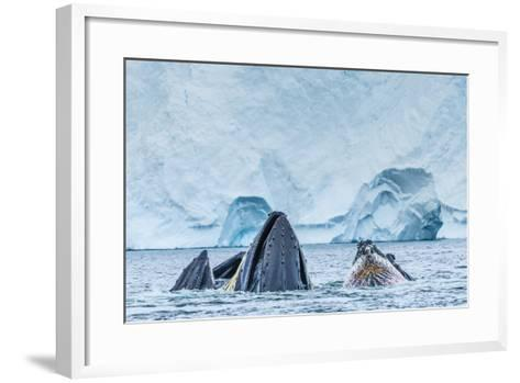 Humpback Whales Lunge Feeding Near Paradise Harbor, Antarctica-Ralph Lee Hopkins-Framed Art Print