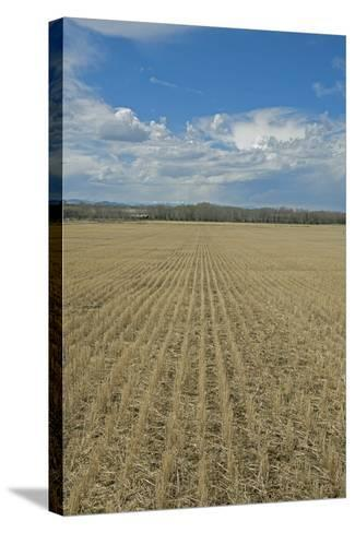 Clouds Billow over a Harvested Wheat Field Near Bozeman, Montana-Gordon Wiltsie-Stretched Canvas Print
