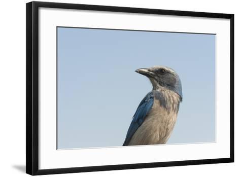 A Federally Threatened Florida Scrub Jay, Aphelocoma Coerulescens-Joel Sartore-Framed Art Print