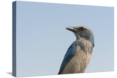 A Federally Threatened Florida Scrub Jay, Aphelocoma Coerulescens-Joel Sartore-Stretched Canvas Print