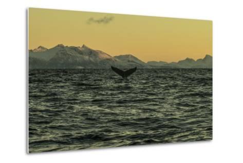 The Flukes of a Whale Off Lofoten Archipelago-Cristina Mittermeier-Metal Print