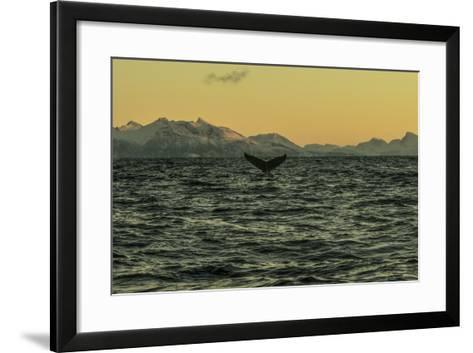 The Flukes of a Whale Off Lofoten Archipelago-Cristina Mittermeier-Framed Art Print