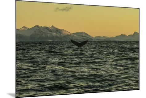 The Flukes of a Whale Off Lofoten Archipelago-Cristina Mittermeier-Mounted Photographic Print