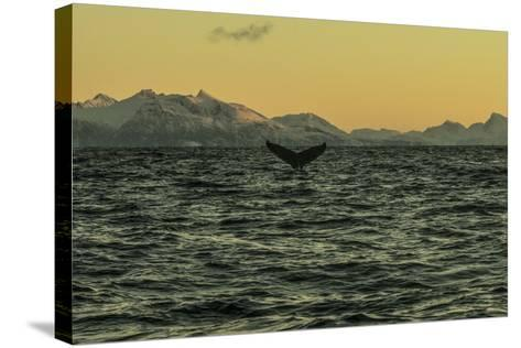 The Flukes of a Whale Off Lofoten Archipelago-Cristina Mittermeier-Stretched Canvas Print