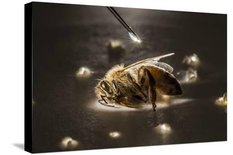 A Syringe Places a Minute Droplet of Phenothrin on a Honeybee-Anand Varma-Stretched Canvas Print