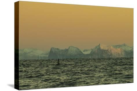 A Whale Swims in Waters Off Lofoten Archipelago-Cristina Mittermeier-Stretched Canvas Print