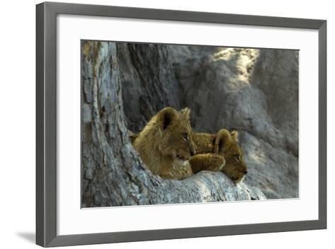 Two Lion Cubs Resting on Exposed Tree Roots-Beverly Joubert-Framed Art Print
