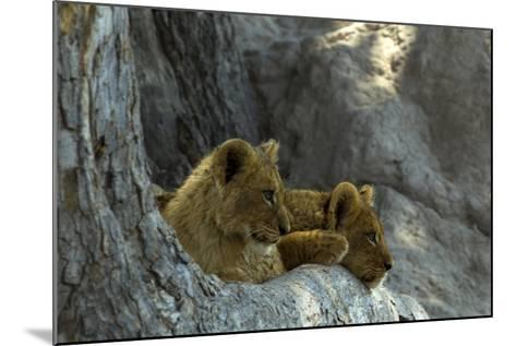 Two Lion Cubs Resting on Exposed Tree Roots-Beverly Joubert-Mounted Photographic Print